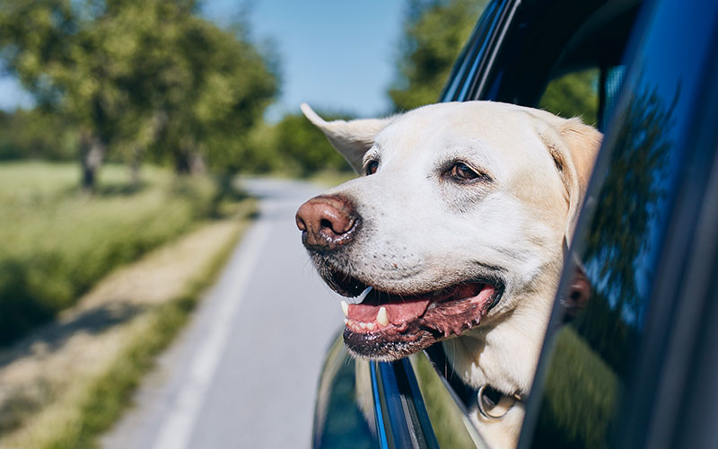 Yes, You Can Take Them With You!  (Here's how to safely travel with your pet)